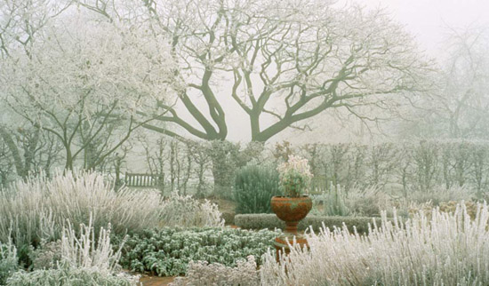 Perfect Herb Garden In Hoar Frost. Phellodendron
