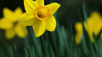 Photo of Daffodils 'bring different colours to a garden'