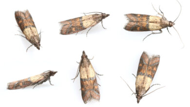 Photo of To carpet or not to carpet – the attack of the carpet moth