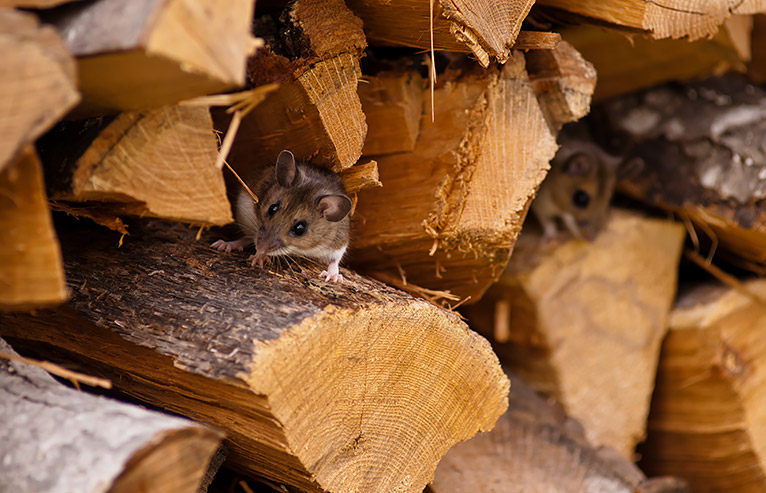 Mouse in a pile of chopped wood