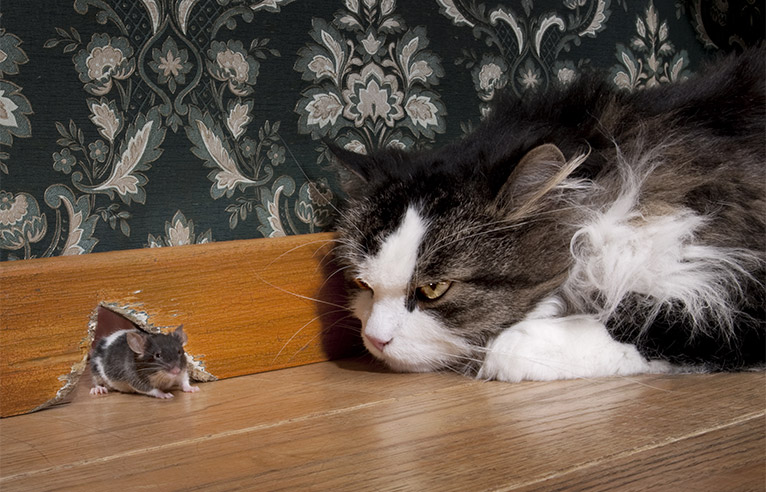 Cat staring at a mouse appearing through a mouse hole