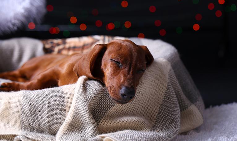 Dachshund asleep in basket