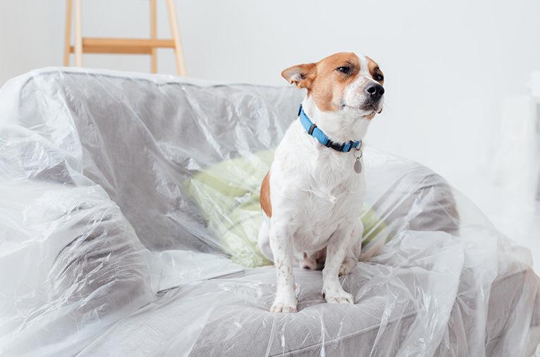 Dog sitting on dust sheet on sofa