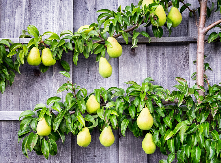 Pear tree espalier on fence in all year round garden