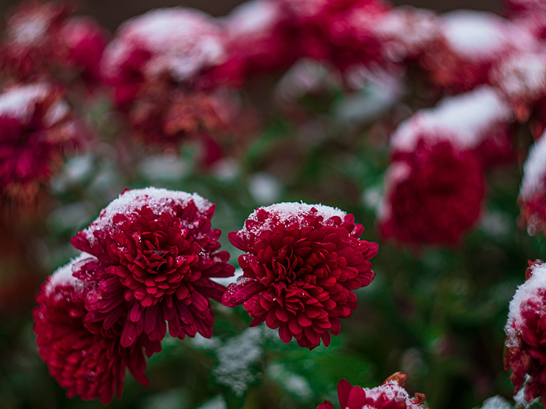 Red chrysanthemums dusted in frost, in all year round garden