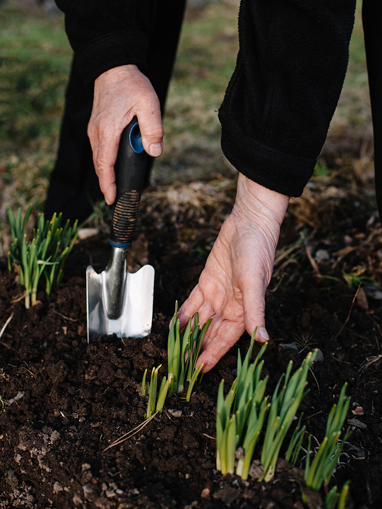 Gardener loosening soil using metal trowel
