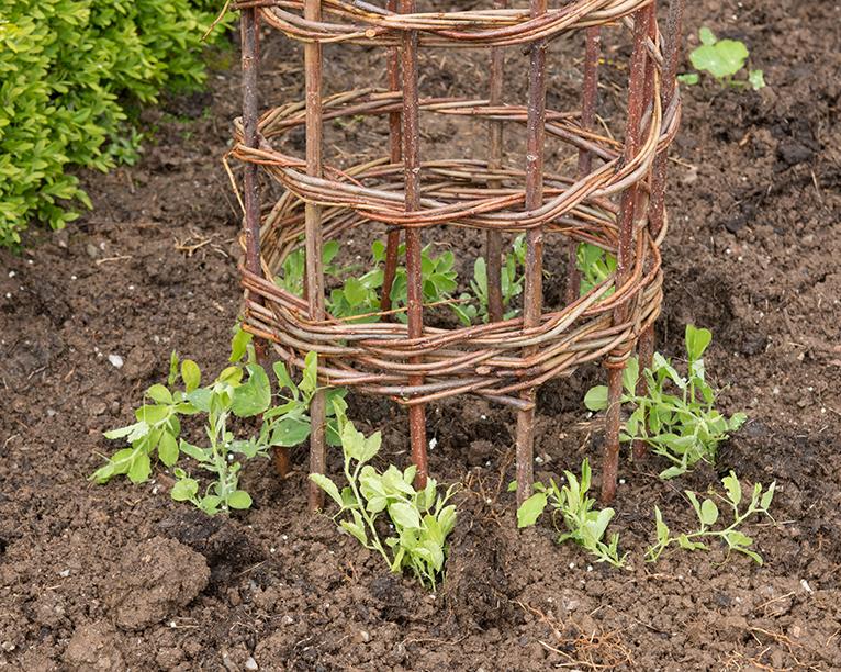Sweet pea plant shoots growing up a wigwam