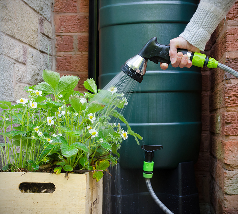 Person watering strawberry plant using hose connected to water butt or rainwater tank