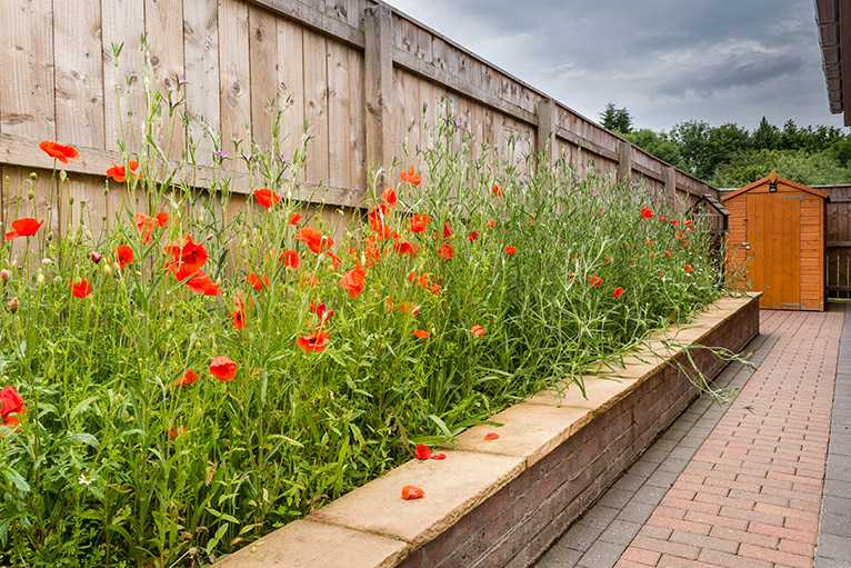 Wildflower patch with poppies and corncockle